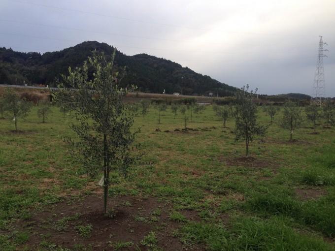 オリーブ畑3